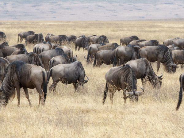 wilderbeast in Ngorongoro crater by jean-daniel at unsplash