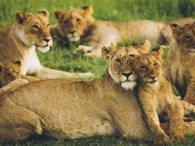 Lions in Masai Mara by Leonard Von Bibra at unsplash