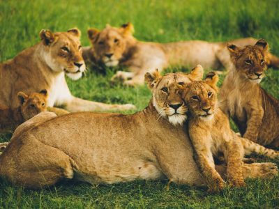 Lions in Masai Mara, Kenya