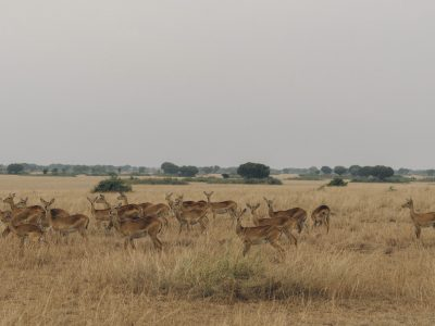 Kobs in Queen Elizabeth National Park by random-institute | unsplash