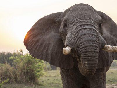 Elephant in Murchison Falls National Park by Sam-balye at unsplash
