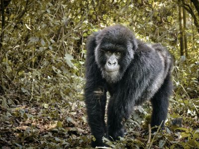 Gorilla in Virunga Congo